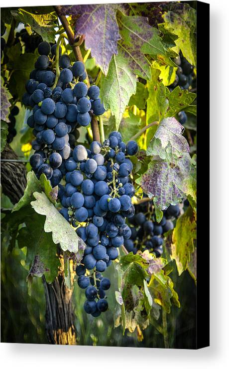 Grapes Canvas Print featuring the photograph Wine Grapes by Tetyana Kokhanets