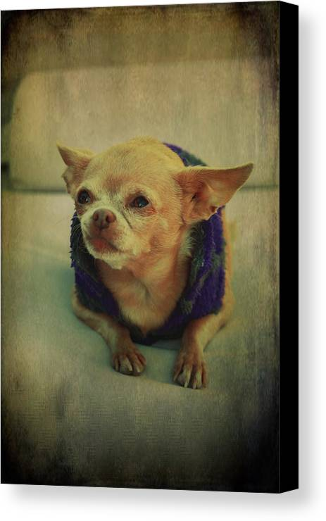 Chihuahuas Canvas Print featuring the photograph Zozo by Laurie Search
