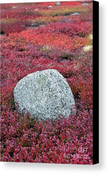 Maine Canvas Print featuring the photograph Autumn Blueberry Field by John Greim