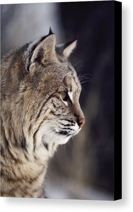 North America Canvas Print featuring the photograph Close-up Of A Bobcat Felis Rufus by Dr. Maurice G. Hornocker