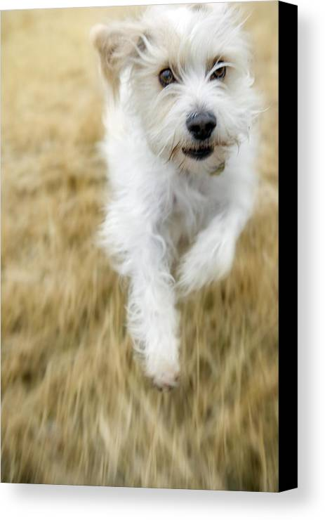 Light Canvas Print featuring the photograph Dog Running by Darwin Wiggett