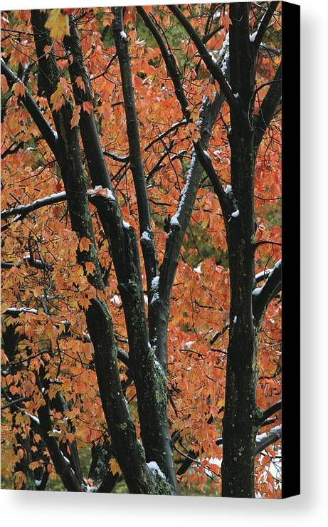 Outdoors Canvas Print featuring the photograph Fall Foliage Of Maple Trees After An by Tim Laman