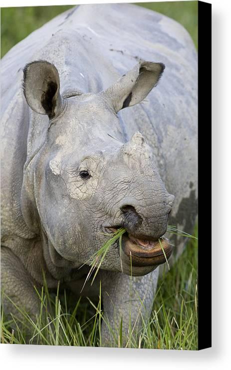 00451346 Canvas Print featuring the photograph Indian Rhinoceros Grazing Kaziranga by Suzi Eszterhas