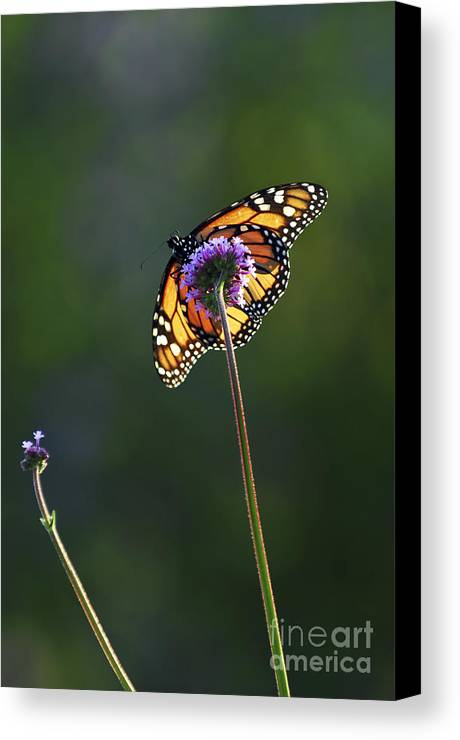 Butterfly Canvas Print featuring the photograph Monarch Butterfly by Elena Elisseeva