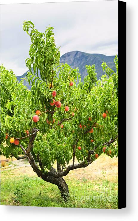 Peaches Canvas Print featuring the photograph Peaches On Tree by Elena Elisseeva