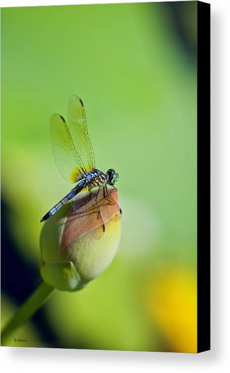 Dragon Fly Canvas Print featuring the photograph Resting On A Lily by Lisa Spencer