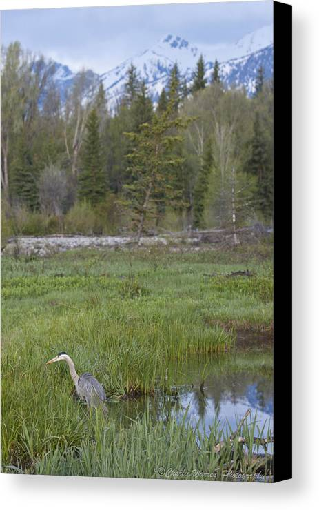 Egret Canvas Print featuring the photograph Wading On Breakfast by Charles Warren
