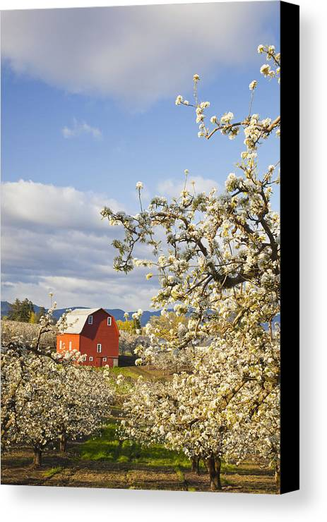 Barn Canvas Print featuring the photograph Apple Blossom Trees And A Red Barn In by Craig Tuttle