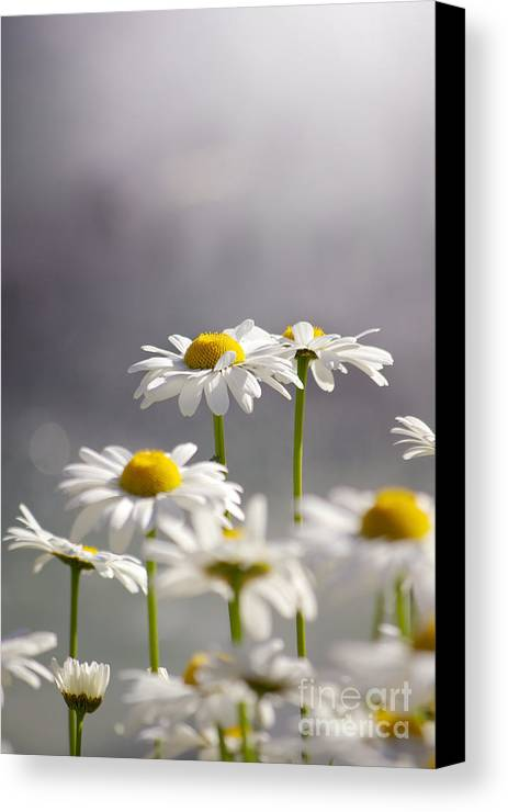 Agriculture Canvas Print featuring the photograph White Daisies by Carlos Caetano