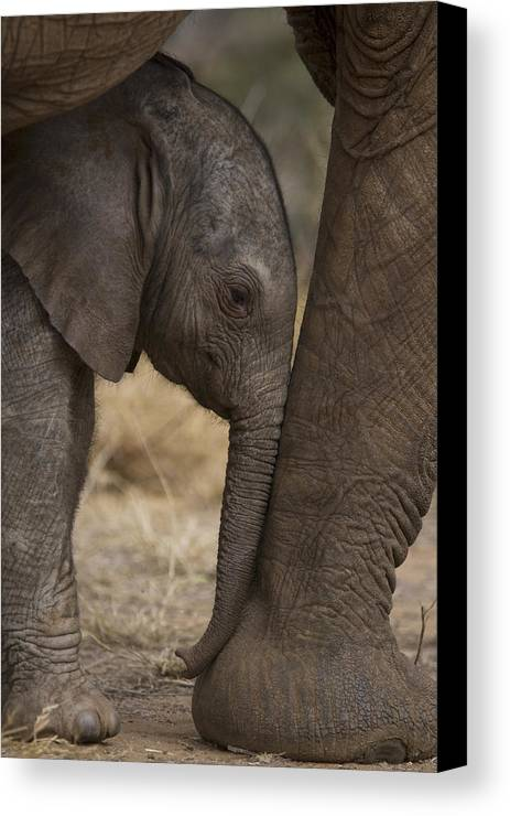Outdoors Canvas Print featuring the photograph An Elephant Calf Finds Shelter Amid by Michael Nichols