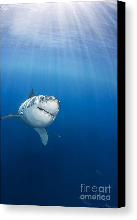 Animal Art Canvas Print featuring the photograph Beautiful Great White by Dave Fleetham - Printscapes