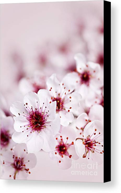 Cherry Blossom Canvas Print featuring the photograph Cherry Blossoms by Elena Elisseeva
