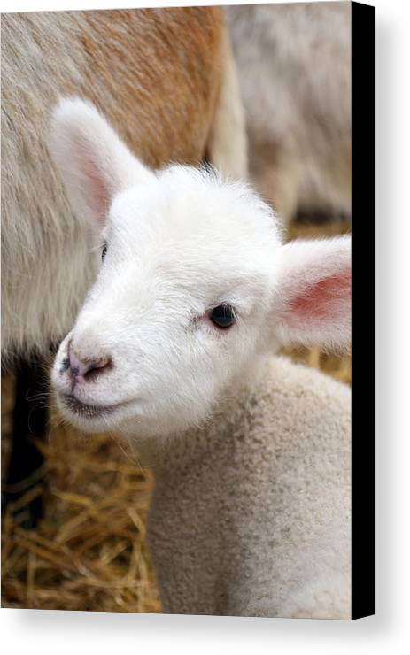 Grass Canvas Print featuring the photograph Lamb by Michelle Calkins