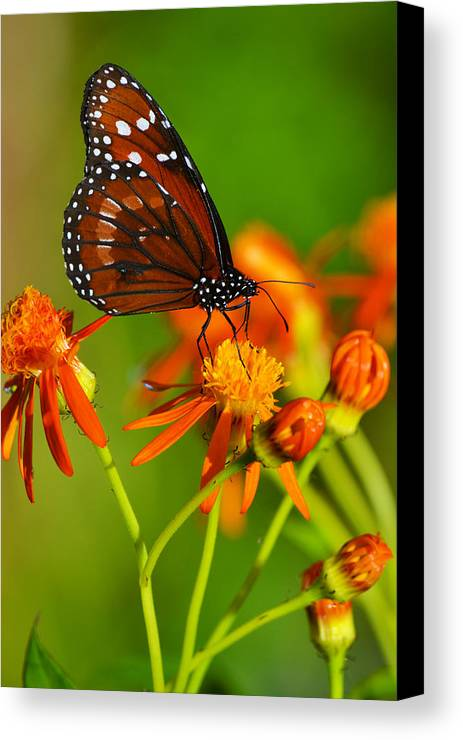 Butterfly Canvas Print featuring the photograph The Soldier by Melanie Moraga