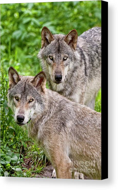 Michael Cummings Canvas Print featuring the photograph Timber Wolf Pair by Michael Cummings