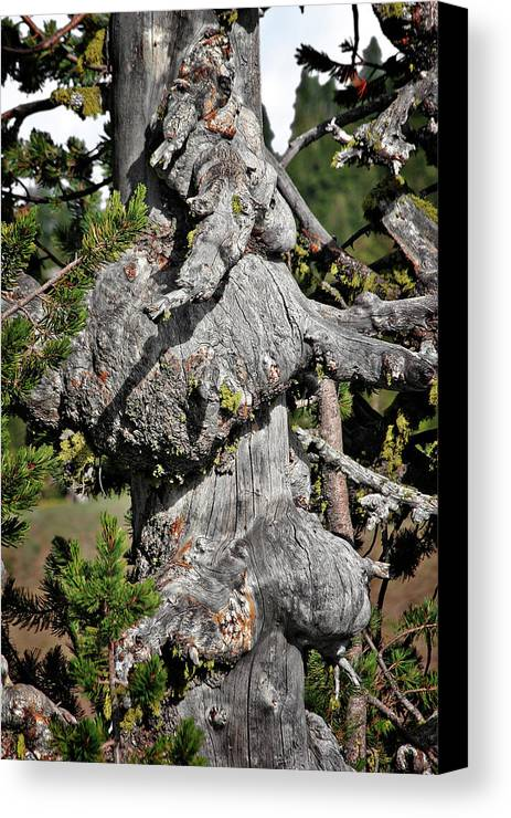Pines Canvas Print featuring the photograph Whitebark Pine Tree - Iconic Endangered Keystone Species by Christine Till