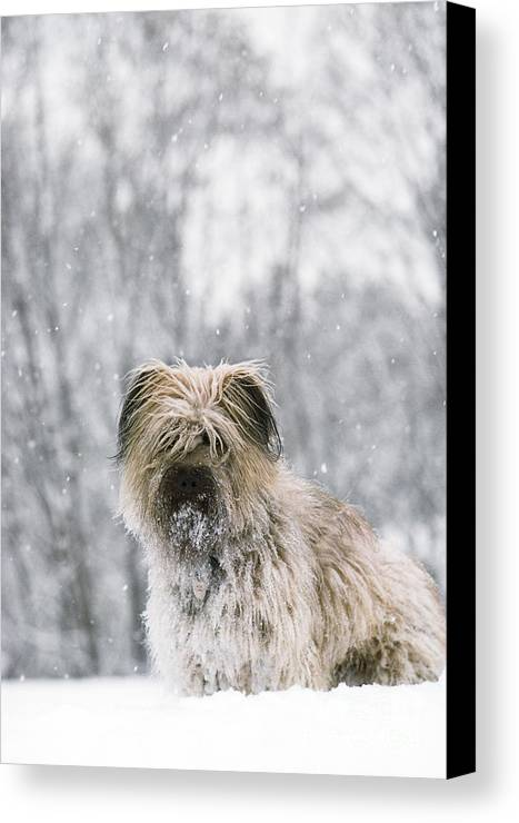 Pyrenean Shepherd Dog Canvas Print featuring the photograph Pyrenean Shepherd Dog by Jean-Paul Ferrero