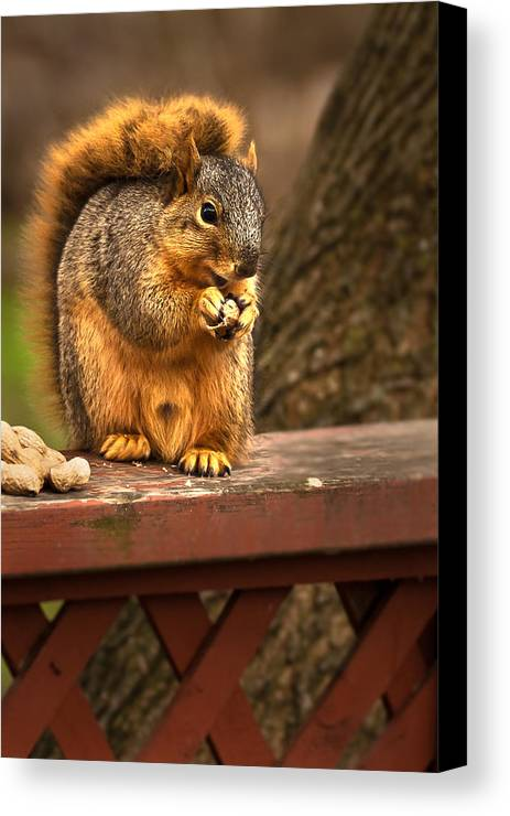 Eastern Fox Squirrel Canvas Print featuring the photograph Squirrel Eating A Peanut by Onyonet Photo Studios