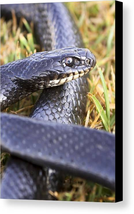 Animal Canvas Print featuring the photograph Large Whipsnake (coluber Jugularis) by Photostock-israel