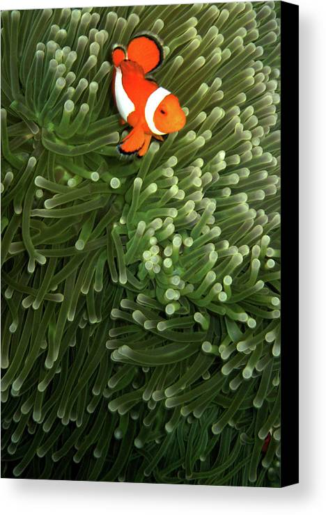 Vertical Canvas Print featuring the photograph Orange Fish With Yellow Stripe by Perry L Aragon