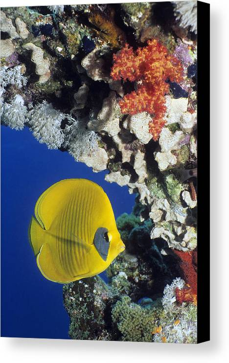 Chaetodon Semilarvatus Canvas Print featuring the photograph Bluecheek Butterflyfish by Georgette Douwma