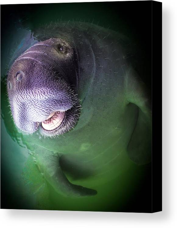 Manatees Canvas Print featuring the photograph The Happy Manatee by Karen Wiles