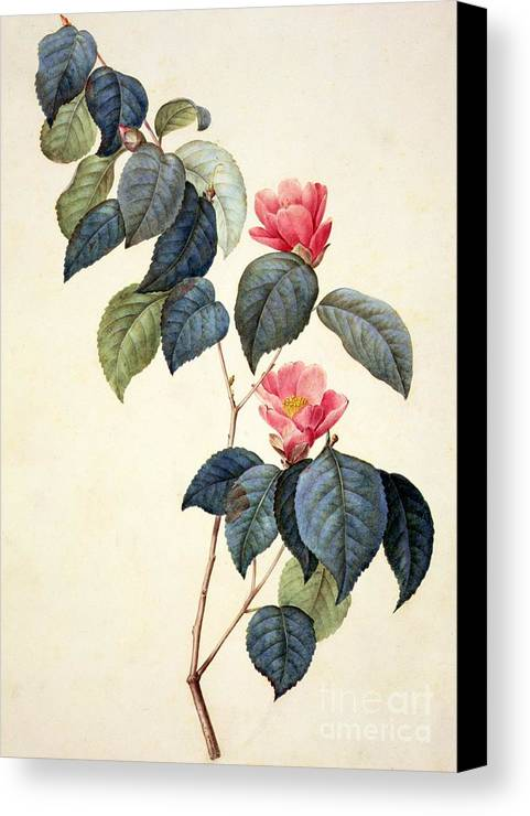Still Life Canvas Print featuring the painting Camellia Japonica by Pierre Joseph Redoute