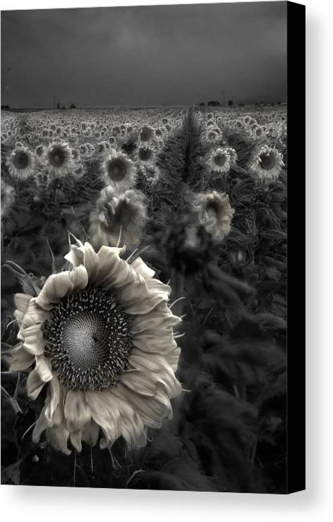 Featured Art Canvas Print featuring the photograph Haunting Sunflower Fields 1 by Dave Dilli