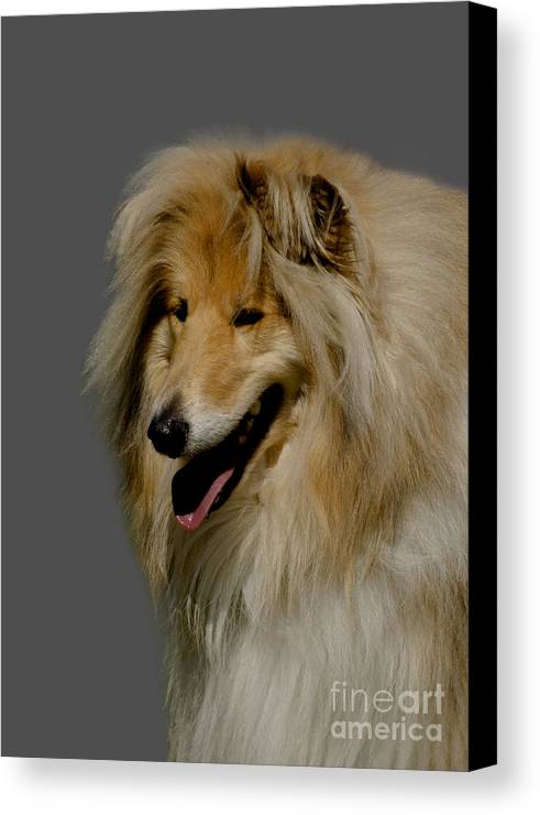 Grey Background Canvas Print featuring the photograph Collie Dog by Linsey Williams