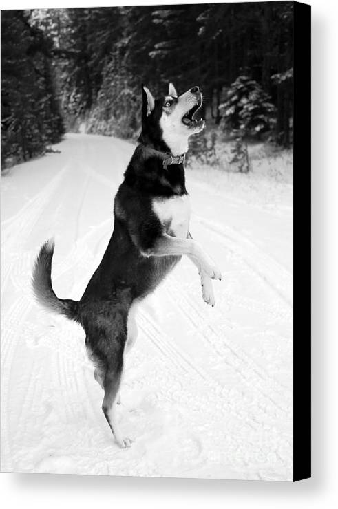 Dog Canvas Print featuring the photograph Frolicking In The Snow - Black And White by Carol Groenen