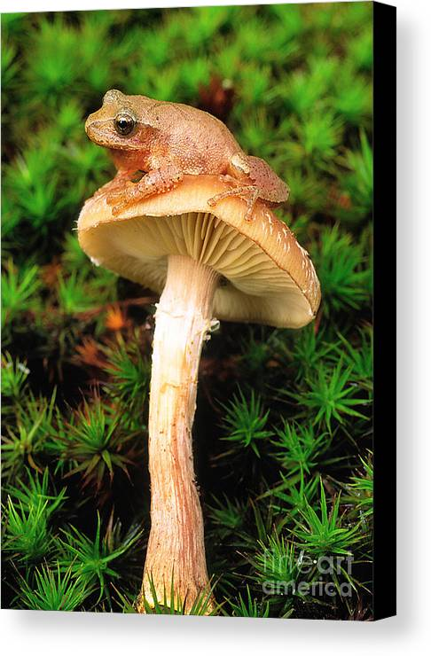 Spring Peeper Canvas Print featuring the photograph Spring Peeper On Mushroom by Gary Meszaros