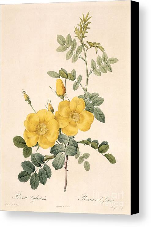 Rosa Canvas Print featuring the drawing Rosa Eglanteria by Pierre Joseph Redoute