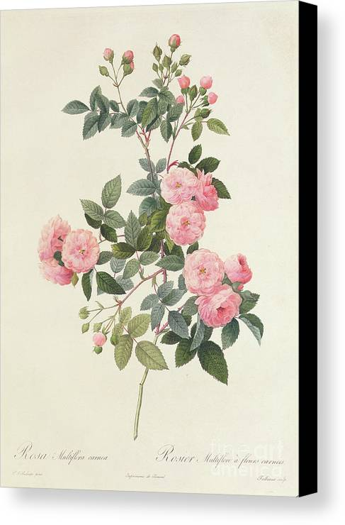 Rosa Canvas Print featuring the drawing Rosa Multiflora Carnea by Pierre Joseph Redoute