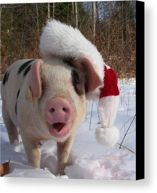 Pig Canvas Print featuring the photograph Christmas Pig by Samantha Howell