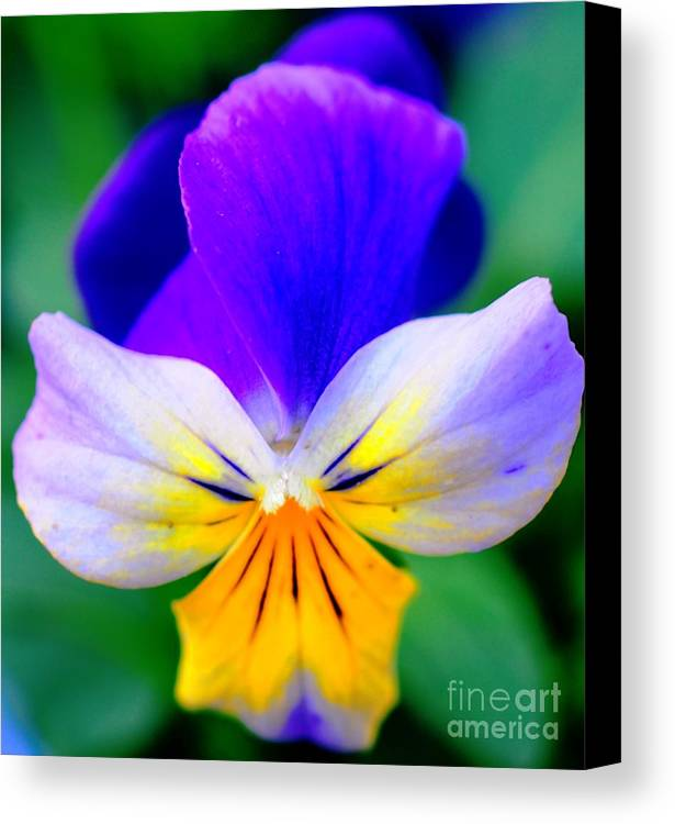 Pansy Canvas Print featuring the photograph Pansy by Kathleen Struckle