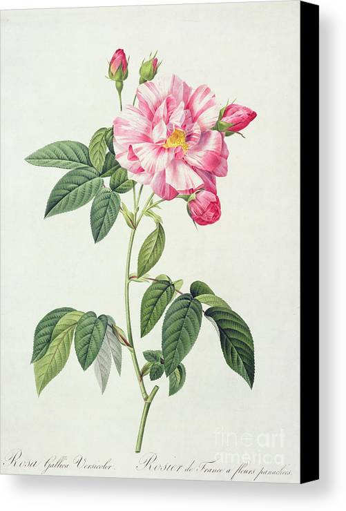 Rosa Canvas Print featuring the drawing French Rose by Pierre Joseph Redoute