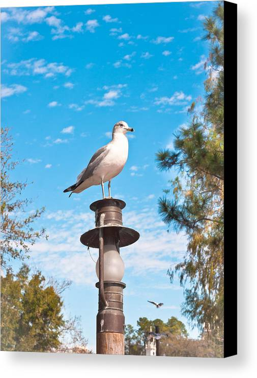 Animal Canvas Print featuring the photograph Seagull by Tom Gowanlock