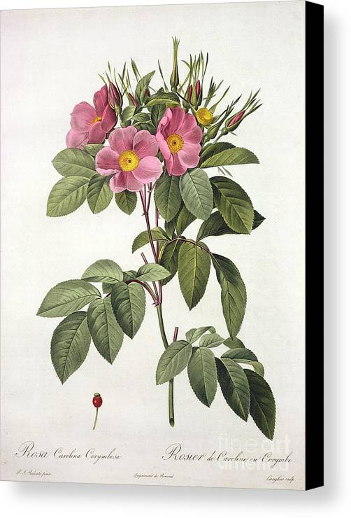 Rosa Canvas Print featuring the drawing Rosa Carolina Corymbosa by Pierre Joseph Redoute