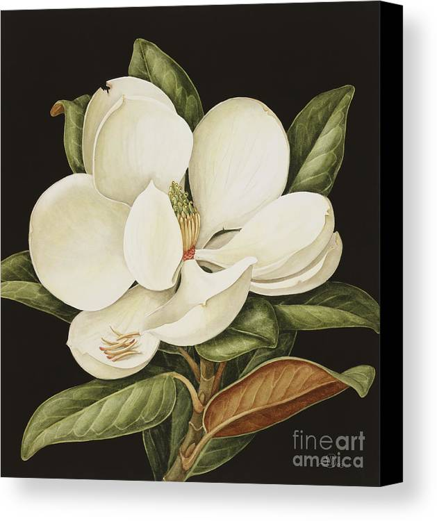 Still-life Canvas Print featuring the painting Magnolia Grandiflora by Jenny Barron