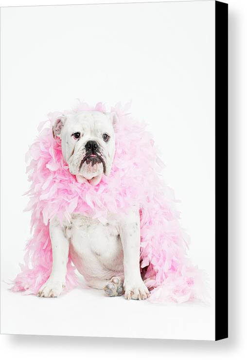 Vertical Canvas Print featuring the photograph Bulldog Wearing Feather Boa by Max Oppenheim