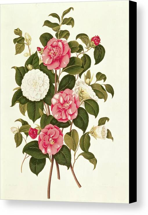 Flower Canvas Print featuring the painting Camellia by English School
