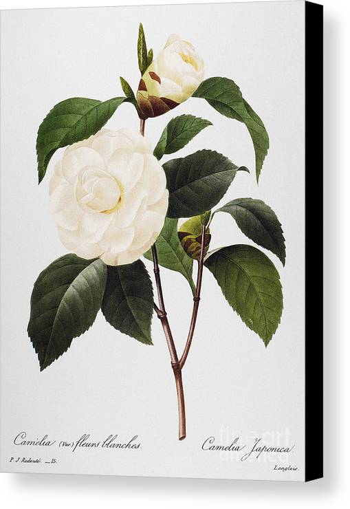 1833 Canvas Print featuring the photograph Camellia, 1833 by Granger
