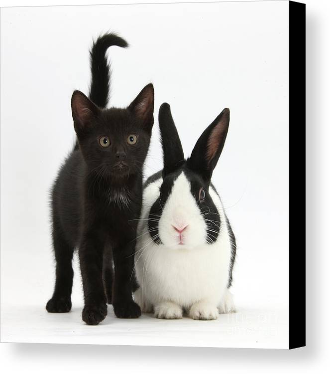 Nature Canvas Print featuring the photograph Black Kitten And Dutch Rabbit by Mark Taylor