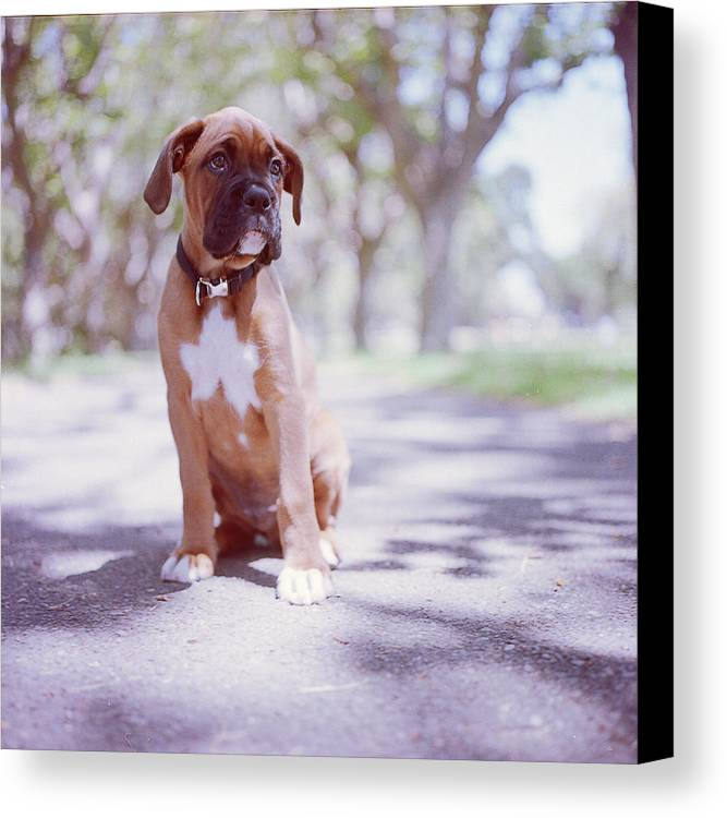 Vertical Canvas Print featuring the photograph Boxer Puppy by Diyosa Carter
