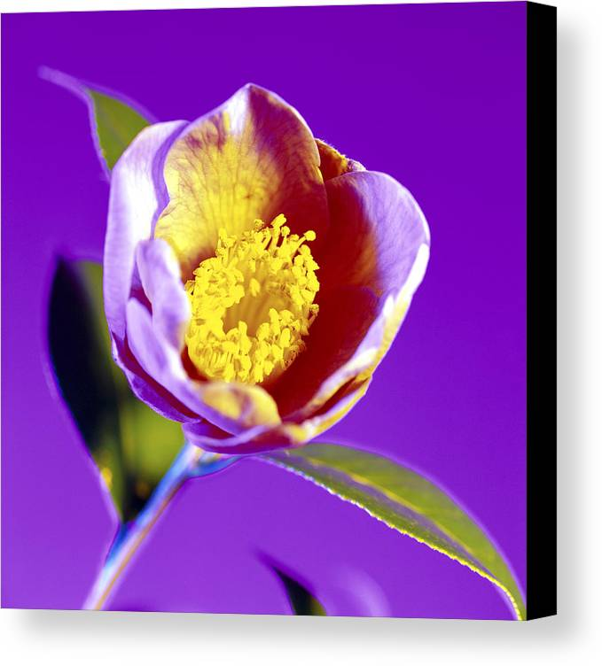 Camellia Sp. Canvas Print featuring the photograph Camellia Flower (camellia Sp.) by Johnny Greig