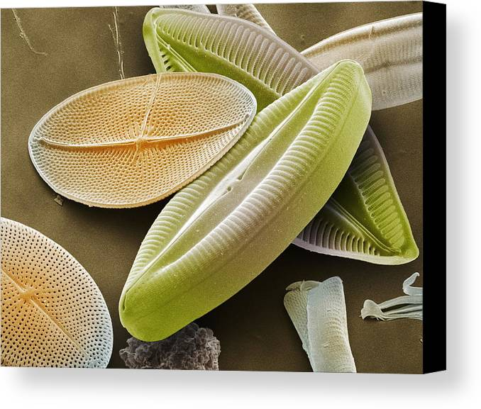 Navicula Palpebralis Canvas Print featuring the photograph Diatoms, Sem by Power And Syred