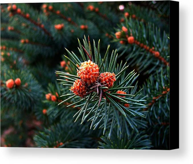 Pine Cones Canvas Print featuring the photograph Baby Pinecones by Julie Dant