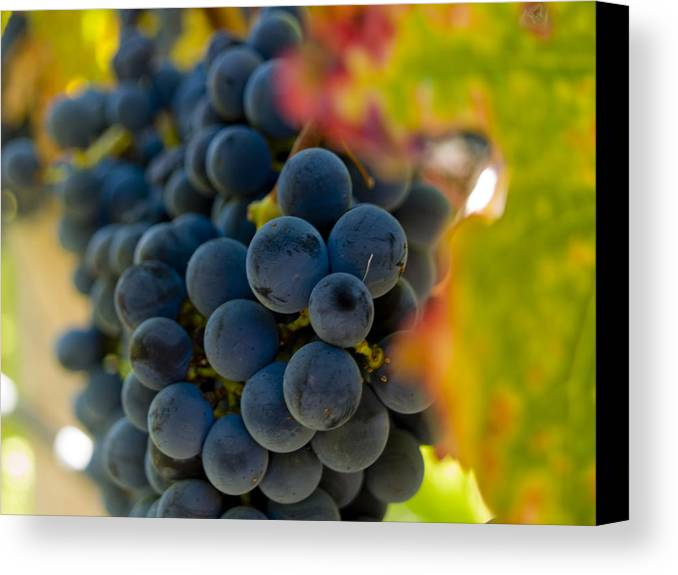 Grape Canvas Print featuring the photograph Grapes On The Vine by Bill Gallagher