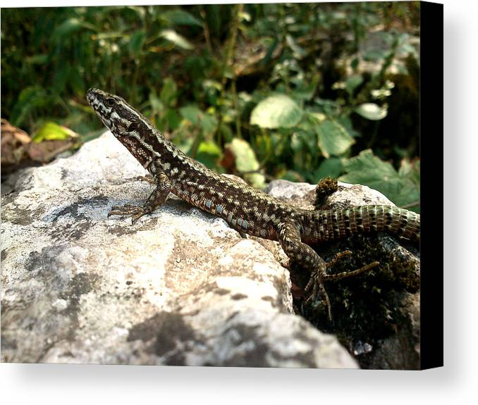 Lizard Canvas Print featuring the photograph Dragon by Lucy D