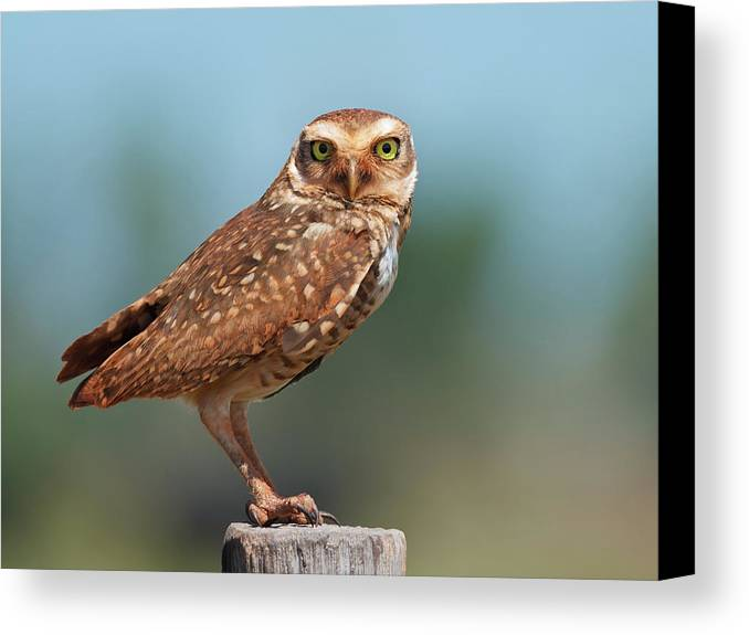 Horizontal Canvas Print featuring the photograph Burrowing Owl by Peter Schoen